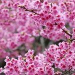 Цветение сакуры в Японии: лучшие места