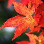 Осенние выходные в Корее: красные клёны, хризантемы, горы и термальные источники